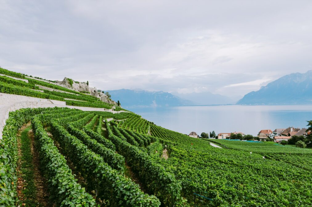 vineyards with mountains and lake view
